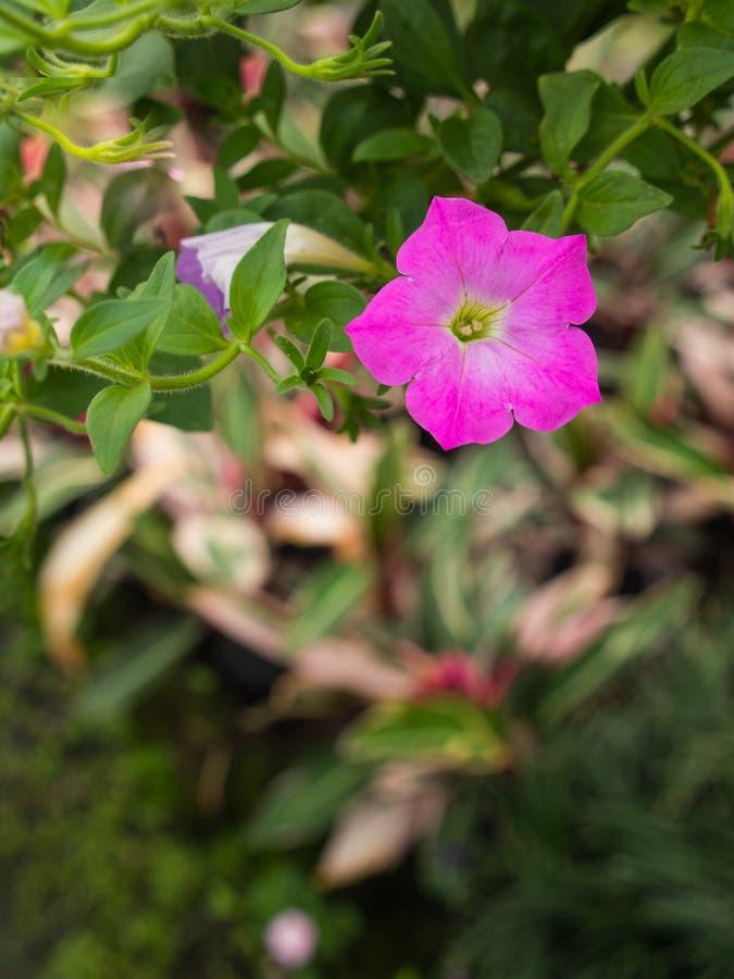 La petunia rosada florece la ejecución imagenes de archivo