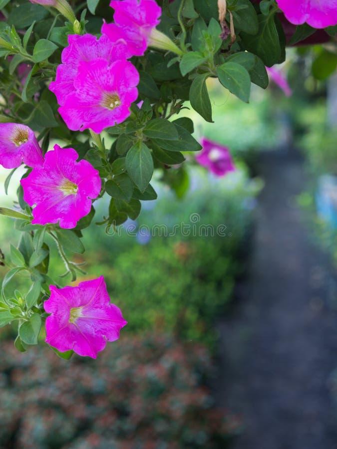 La petunia rosada florece la ejecución imagen de archivo