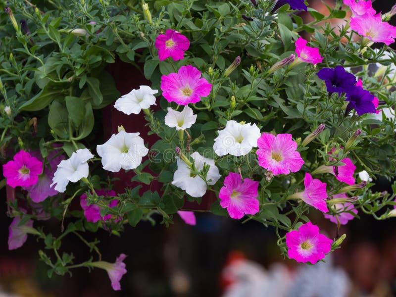 La petunia rosada y azul marino blanca florece la ejecución fotografía de archivo