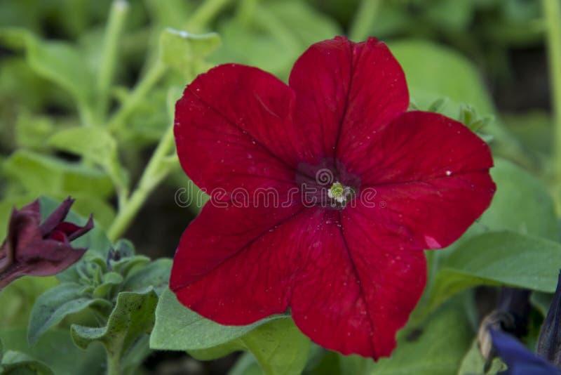 Download La petunia sanguinosa immagine stock. Immagine di ciò - 117980295