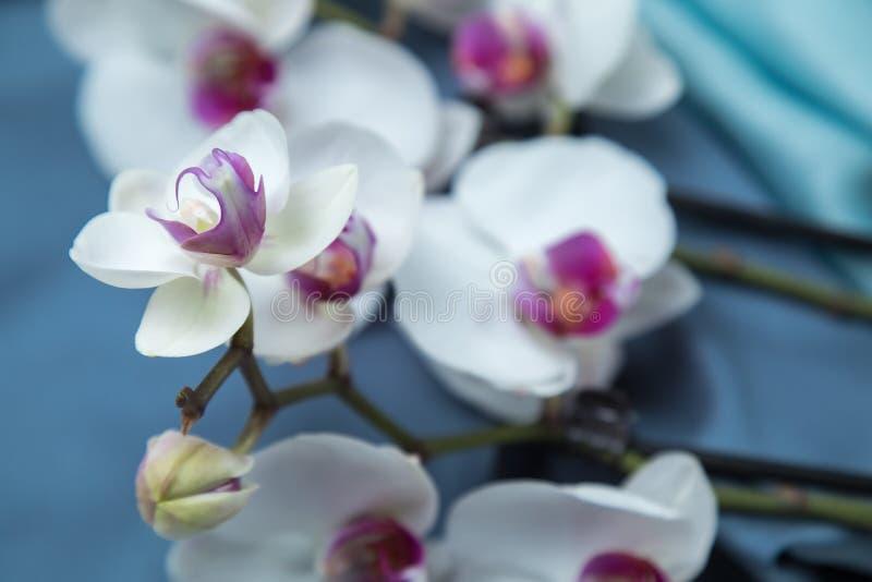 La phalaenopsis sbocciante dell'orchidea Fiori bianchi con il centro lilla fotografia stock libera da diritti
