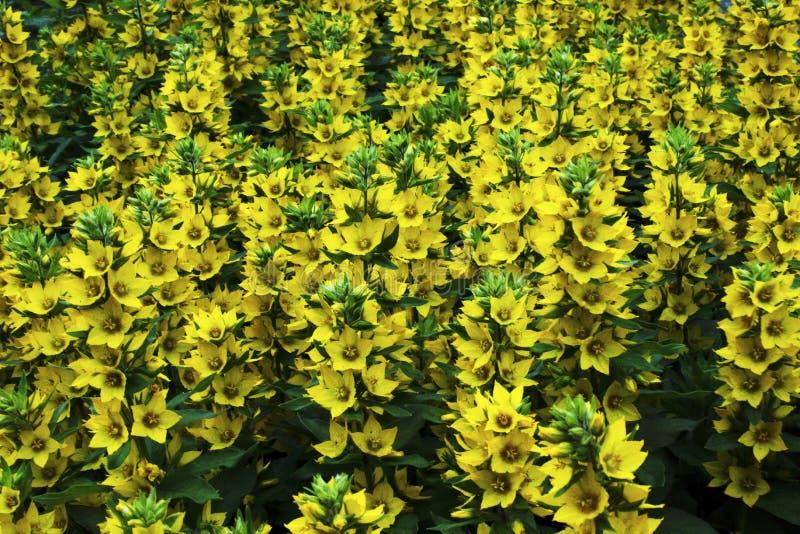 La photo dépeint beaucoup de fleurs jaunes photo stock