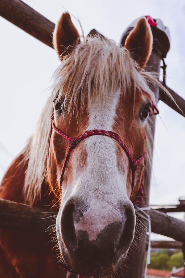 La photo dépeint le beau beau cheval brun et blanc regardant fixement sur a images stock