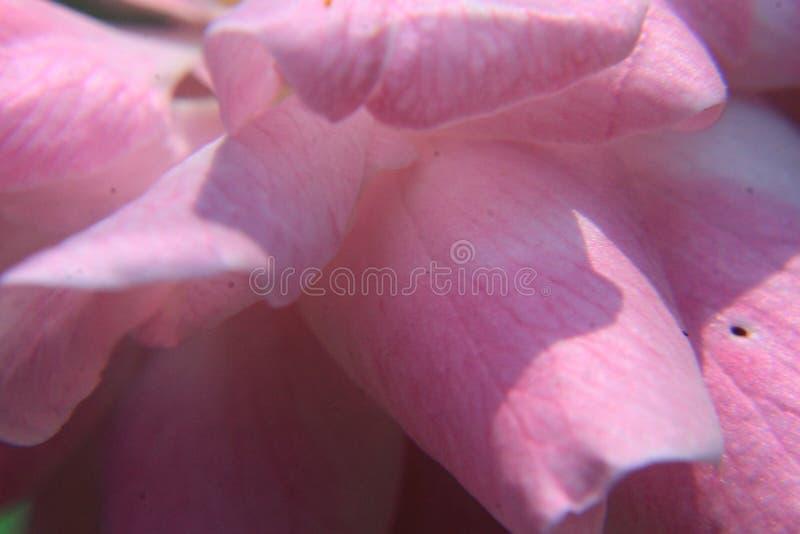 La photo dépeint une macro image colorée, pétale brouillé par foyer mou de rose rose pour le fond image stock