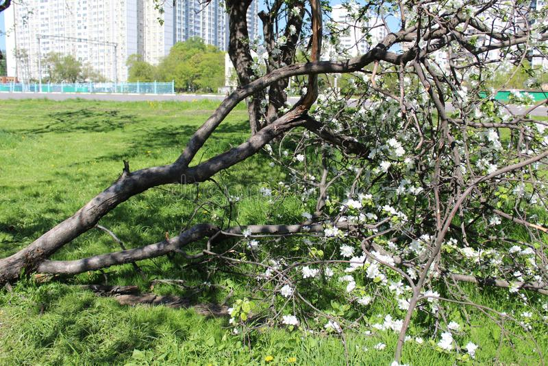La photo d'Apple de floraison font du jardinage à Moscou au printemps photo stock