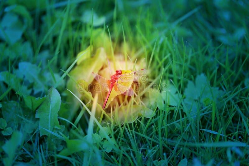 La photo d'un macro lumineux a chiné la libellule rouge photographie stock
