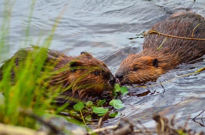 La photo de plan rapproché des castors mangeant dans le lac, lacs Tripple traînent, les parcs nationales de Denali et la conserve photos libres de droits