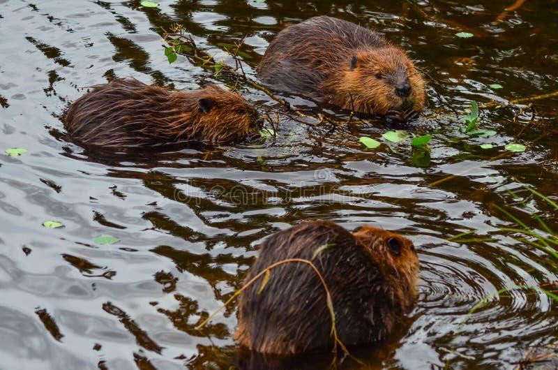 La photo de plan rapproché des castors mangeant dans le lac, lacs Tripple traînent, les parcs nationales de Denali et la conserve image libre de droits
