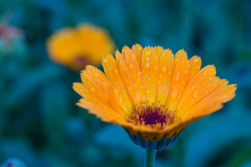 La photo du jardin fleurit le calendula photo stock