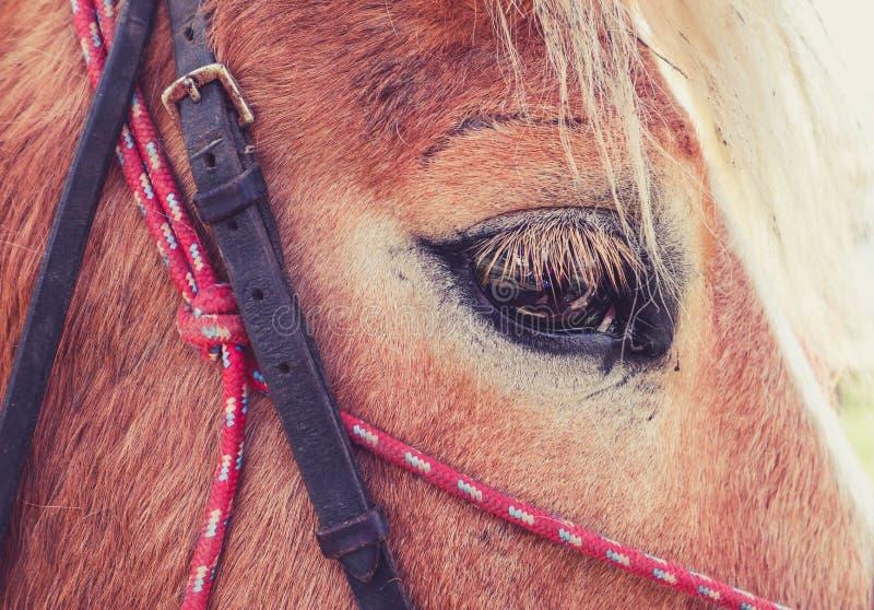 La photo horizontale dépeint un beau beau gaz de cheval de brun foncé image stock