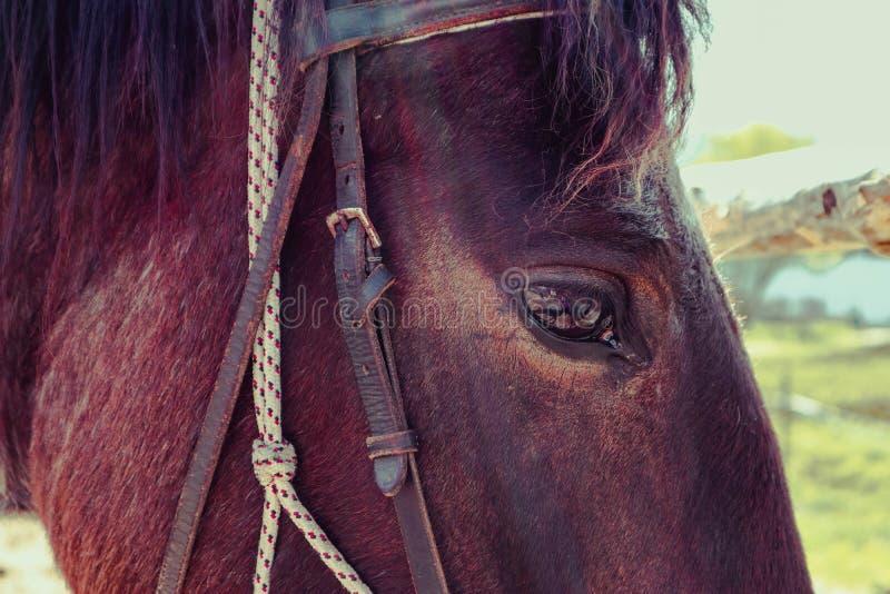 La photo horizontale dépeint un beau beau gaz de cheval de brun foncé photos libres de droits