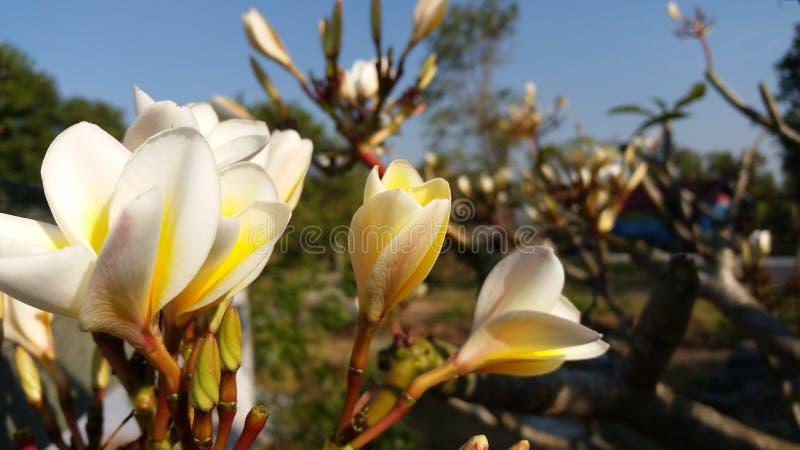 La photo a rectifié après le Laotien rouge fleuraison photo stock