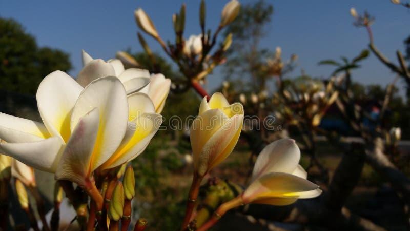 La photo a rectifié après le Laotien rouge fleuraison image libre de droits