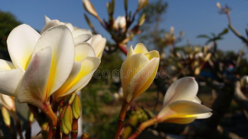 La photo a rectifié après le Laotien rouge fleuraison images stock