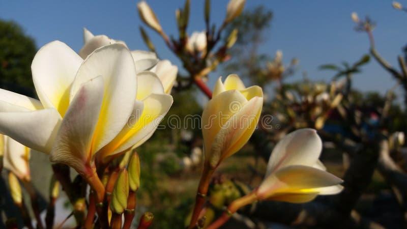 La photo a rectifié après le Laotien rouge fleuraison photographie stock libre de droits