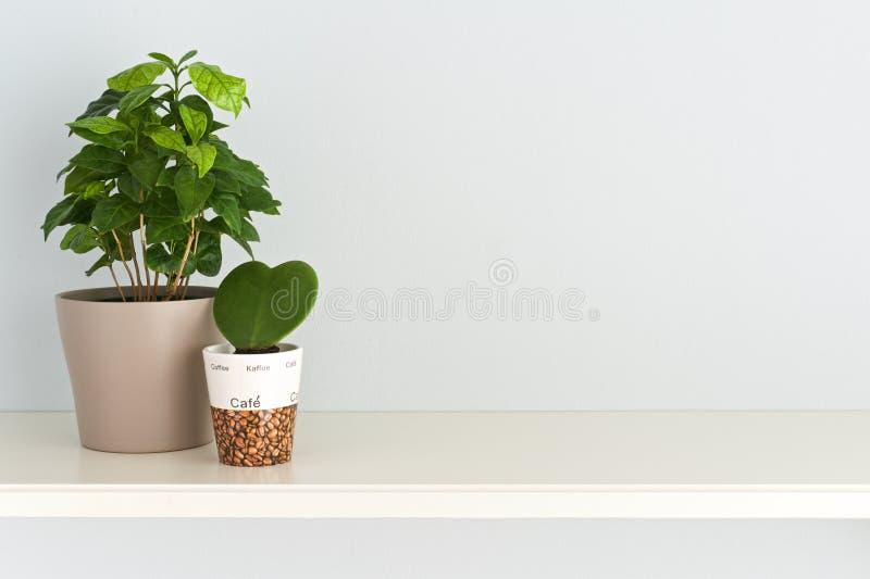 La pianta del caffè in un vaso ed in un cuore ha modellato la pianta noiosa di ya in una ciotola sulla tavola Front View fotografia stock