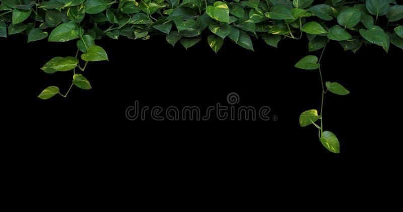 La pianta della giungla lascia il fondo, foglie verdi in forma di cuore di giallo immagini stock libere da diritti