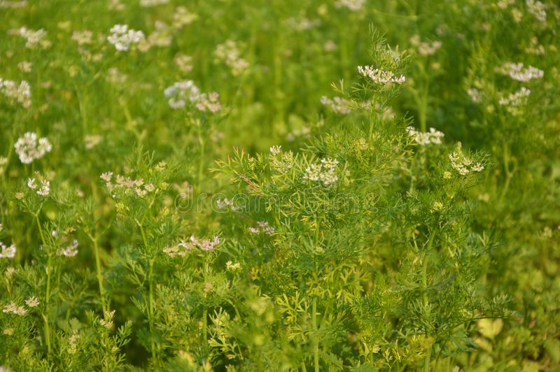 La pianta di coriandolo, tutte le parti della pianta è commestibile immagine stock libera da diritti