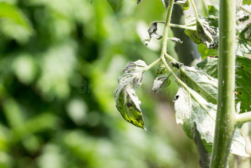 La pianta di pomodori ha infettato il virus dell'avvizzimento maculato del pomodoro anche conosciuto come gli ST fotografie stock