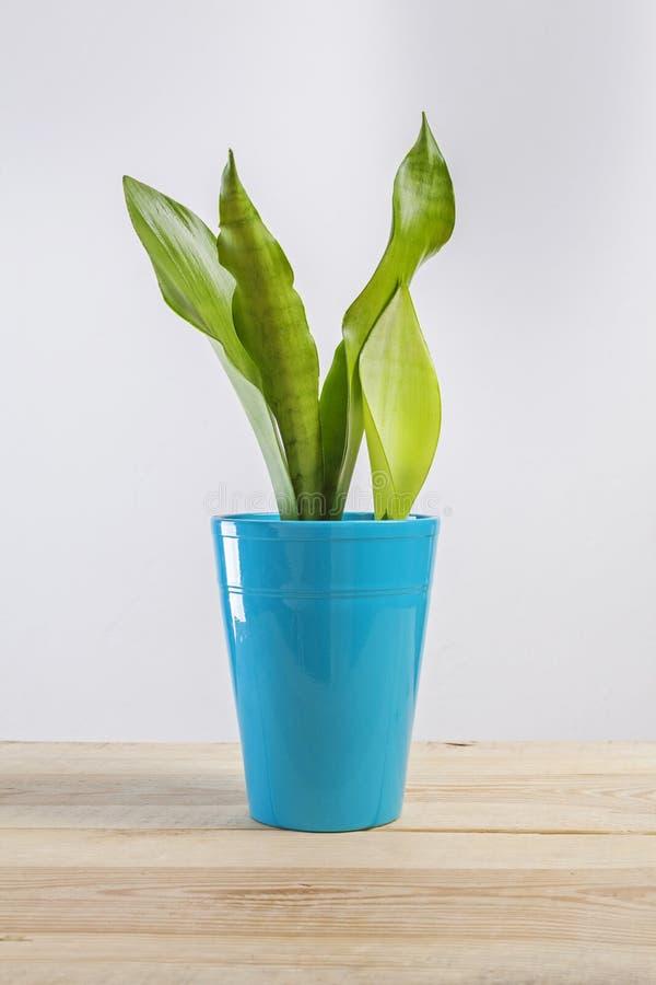 La pianta di una casa di Sanseviera fotografia stock
