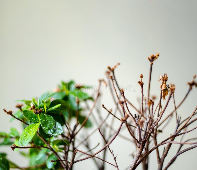 La pianta fiorisce una, l'altra met? ? morto immagine stock