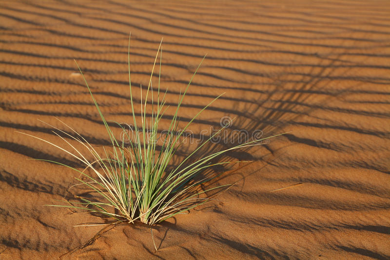 La pianta nel Wahiba smeriglia il deserto nell'Oman fotografia stock