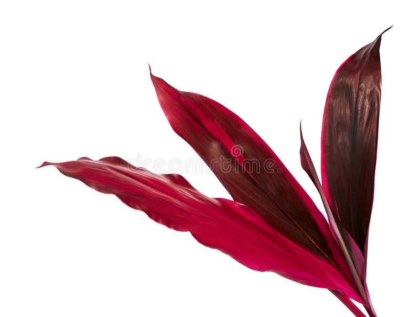 La pianta o il cordyline fruticosa del Ti va, fogliame variopinto, foglia tropicale esotica, isolata su fondo bianco fotografia stock libera da diritti
