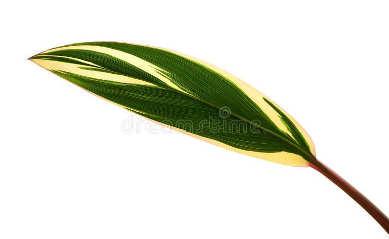 La pianta o il cordyline fruticosa del Ti va, fogliame variopinto, foglia tropicale esotica, isolata su fondo bianco con il perco fotografie stock