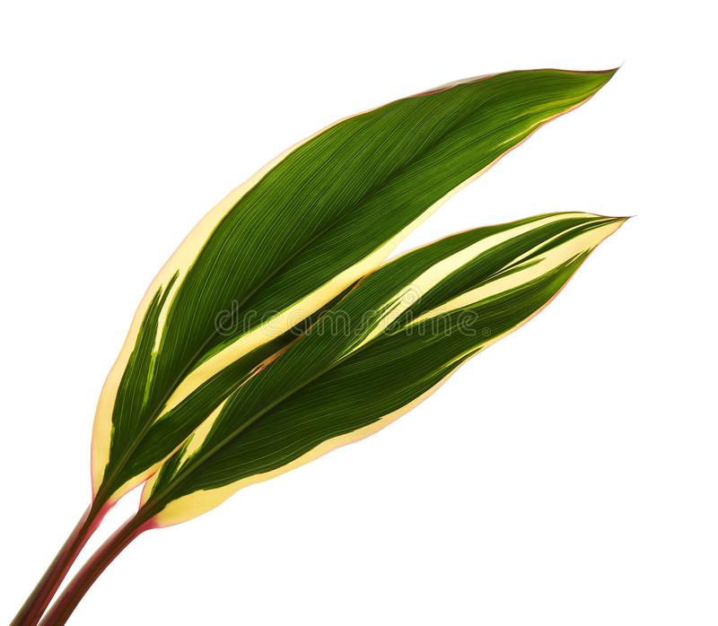 La pianta o il cordyline fruticosa del Ti va, fogliame variopinto, foglia tropicale esotica, isolata su fondo bianco con il perco immagini stock libere da diritti