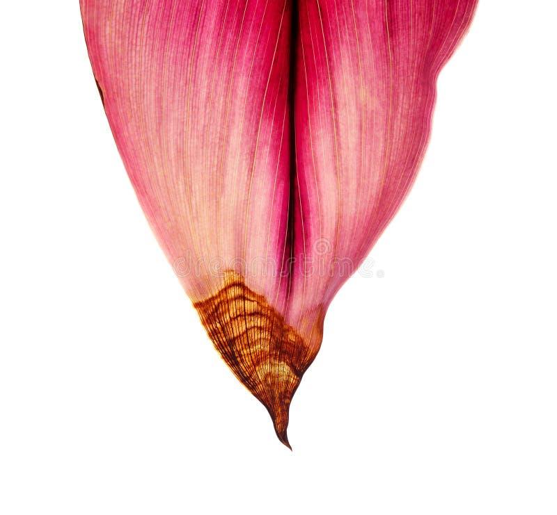 La pianta o il cordyline fruticosa del Ti va, fogliame variopinto, foglia tropicale esotica, isolata su fondo bianco con il perco fotografia stock libera da diritti