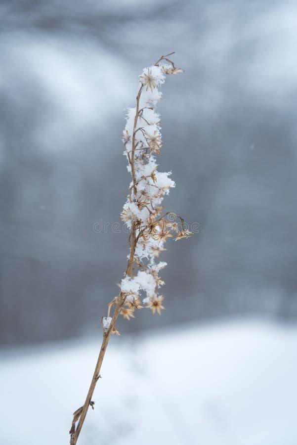 La pianta proviene dai fiori secchi coperti da neve fotografia stock libera da diritti