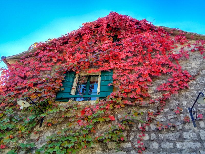 La pianta rampicante con rosso lascia nell'autunno sulla vecchia parete di pietra immagine stock libera da diritti