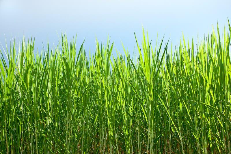 La pianta verde della canna da zucchero immagine stock libera da diritti