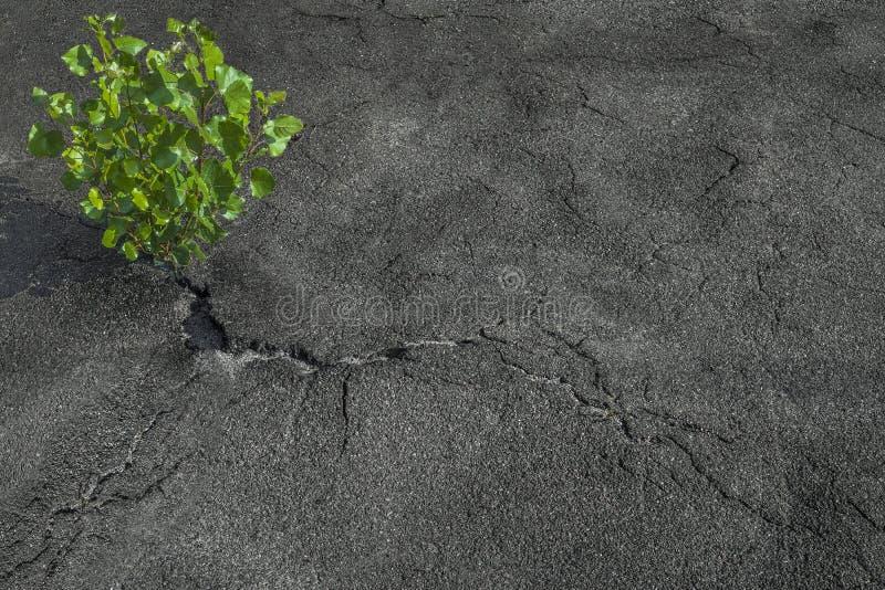 La pianta verde si sviluppa dalla crepa in asfalto Potere di vita fotografie stock libere da diritti