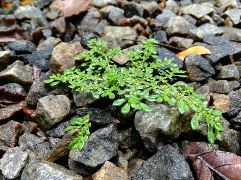 La pianta verde si sviluppa sulle pietre fotografie stock