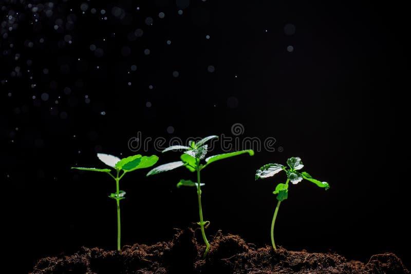 La piantina sta sviluppando dal suolo ricco alla luce solare che ? brillante, concetto di mattina dell'ecologia - Immagine fotografia stock libera da diritti