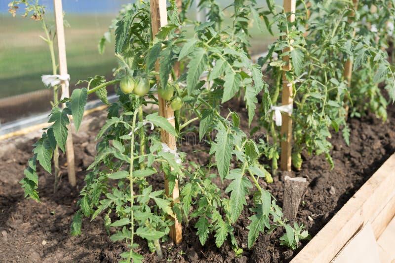 La piantina verde del pomodoro si sviluppa su un letto del giardino in una serra immagini stock