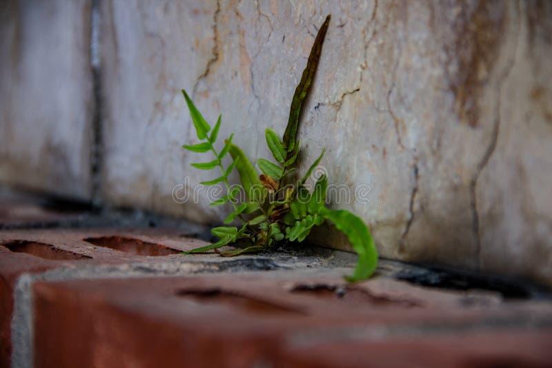 La piccola forte erbaccia sola si sviluppa su una parete fotografia stock