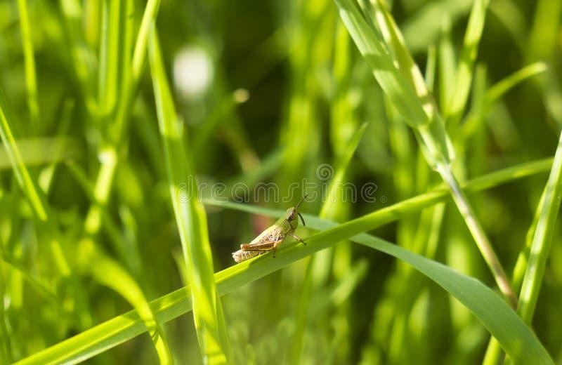 La piccola locusta si siede sulla lama di erba fotografia stock