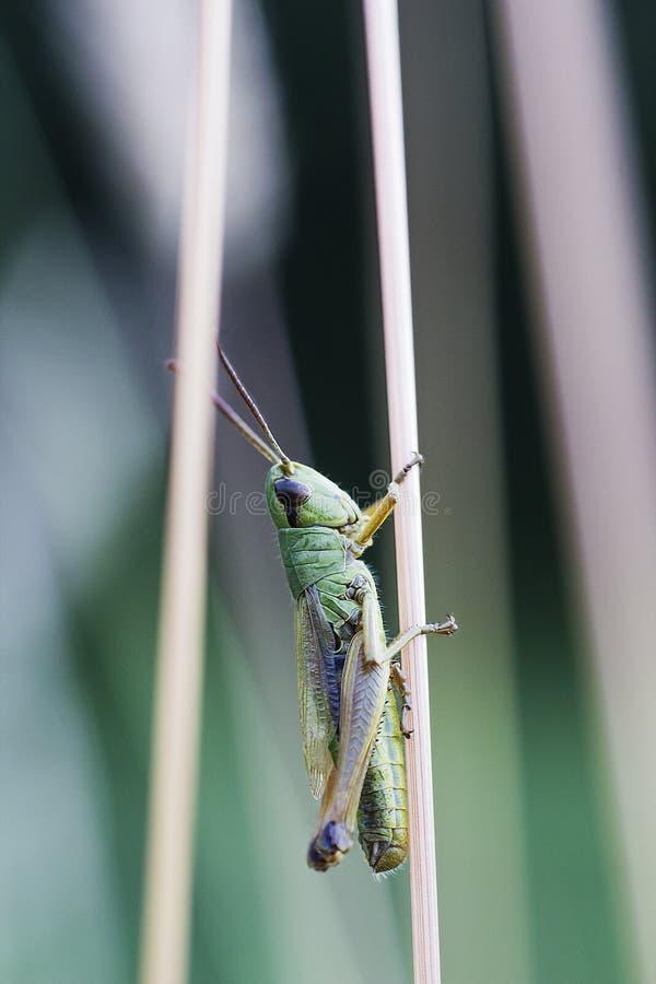 La piccola locusta si siede sulla pianta, fondo verde fotografia stock