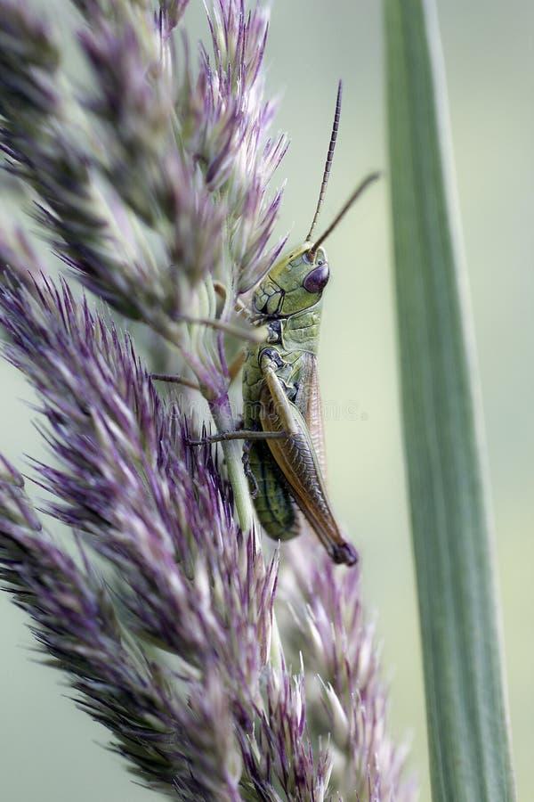 La piccola locusta si siede sulla pianta, fondo verde fotografie stock libere da diritti