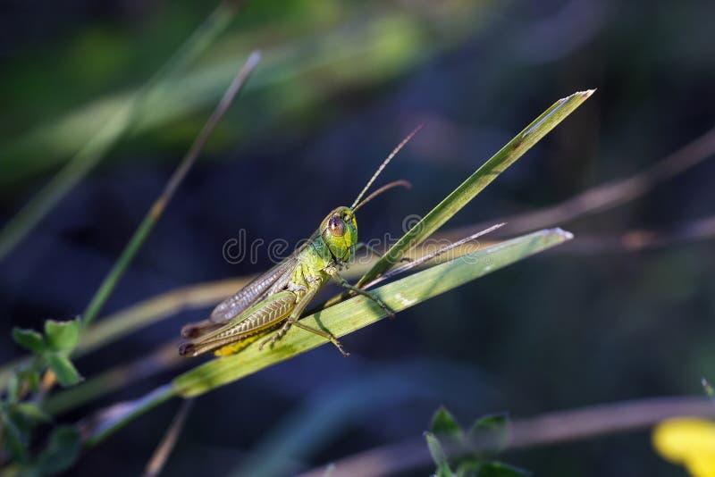 La piccola locusta verde si siede su erba nel campo immagini stock libere da diritti
