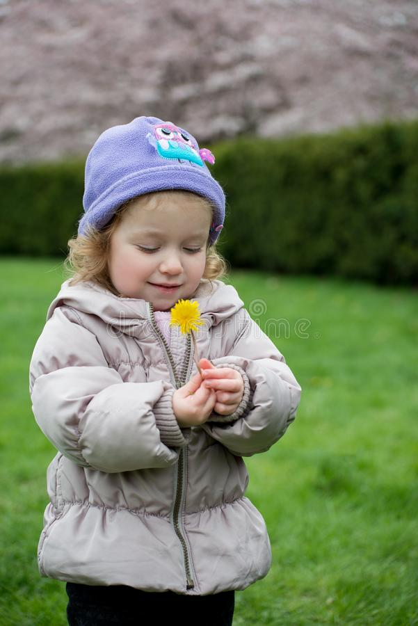 La piccola ragazza sveglia sta esaminando il dente di leone giallo nel parco del fiore di ciliegia immagini stock libere da diritti