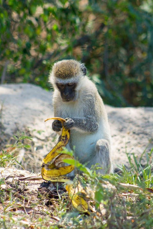 La piccola scimmia in natura selvaggia dell'Africa mangia la banana immagini stock