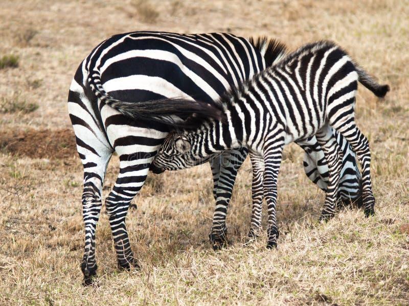 La piccola zebra del bambino è circa le madri e succhia il latte su fondo del campo con erba nel Massai Mara National Park immagine stock libera da diritti