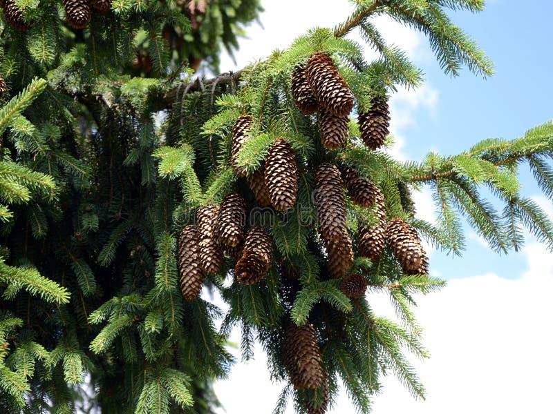 La Picea de la picea abies con los conos fotografía de archivo