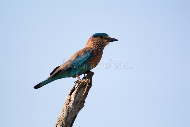 La pie bleue de Sri Lanka ou ornata d'Urocissa de pie de la Ceylan photo stock