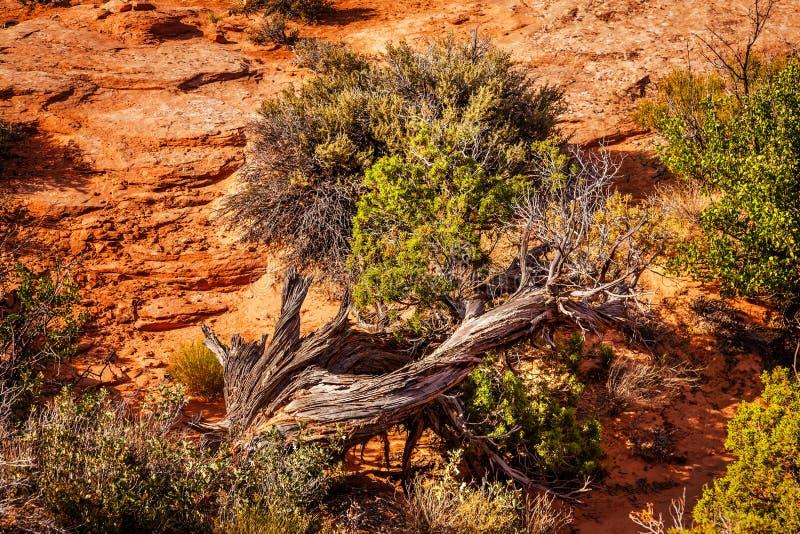 La piedra arenisca del árbol del enebro arquea el parque nacional Moab Utah fotos de archivo