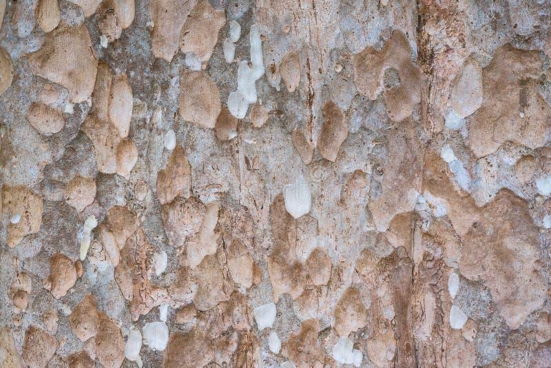 La piel de árboles grandes fotos de archivo libres de regalías