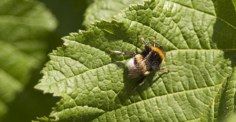La piel de ante atada manosea el Bombus Terrestris de la abeja fotos de archivo libres de regalías